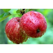 Pommes Breaburn de Provence petites et juteuses
